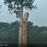 Om Sudah Lihat Cara Nebang Pohon Super Jumbo ini?