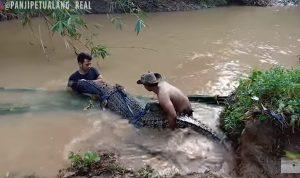 Buaya Muara ukuran Jumbo di suatu Sungai Jawa Barat, Berhasil Ditangkap dan Diamankan