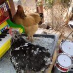 Sudah Viral, Lagu Jaran Goyang yang dinyanyikan oleh Ayam-ayam ini