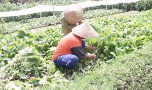 Peluang Usaha Pemijahan Belut di Kebun Budidaya Sawi Sangat Menjanjikan