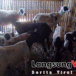 Pengelola Situs Domba.ID dan Kambing.ID Mengundang Peternak Domba & Kambing Indonesia